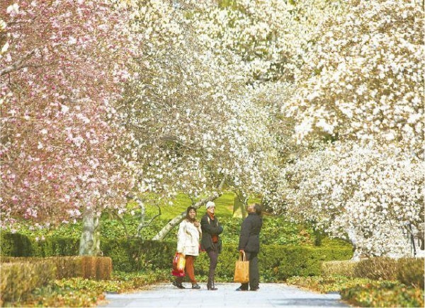 [KONRAD FIEDLER] BLOOMING OF A SEASON Joyce Edwards, left, Yvonne Douglas, and Zennie Desilva enjoy the magnolia trees in full bloom at the Brooklyn Botanic Garden yesterday. The garden's Magnolia Plaza is celebrating its 75th anniversary this year.